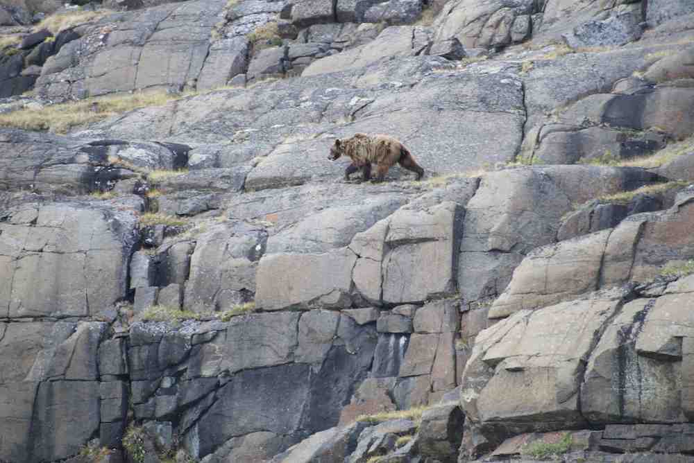 Grizzly on cliff1 small