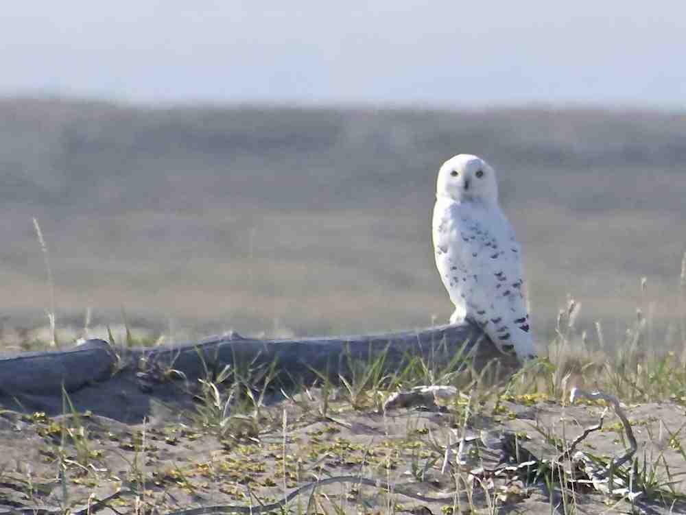 Snowy owl small