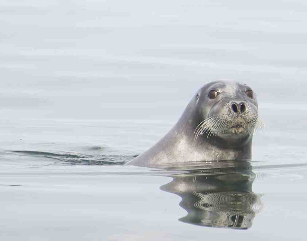 bearded seal small